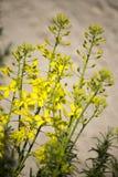 Jardin d'herbes aromatiques avec des usines de moutarde Images libres de droits
