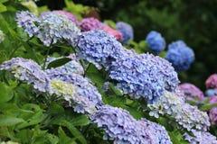 Jardin d'hortensia Photographie stock libre de droits
