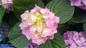 Jardin d'hortensia images libres de droits