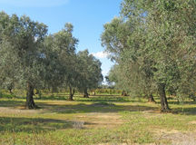 Jardin d'olivier en Puglia Photo stock
