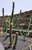jardin de кактуса растущее огромное Стоковые Фото