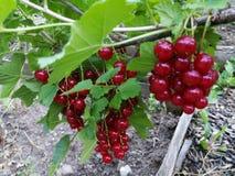 Jardin de baies de groseille rouge Photographie stock