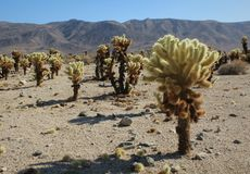 Jardin de cactus de Cholla chez Joshua Tree National Park, la Californie photos libres de droits