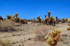 Jardin de cactus de Cholla en stationnement national d'arbre de joshua image stock