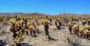 Jardin de cactus de Cholla en stationnement national d'arbre de joshua photo libre de droits