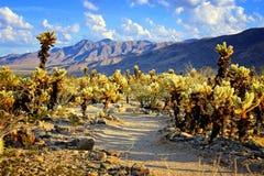 Jardin de cactus de Cholla près de coucher du soleil, Joshua Tree National Park Image stock