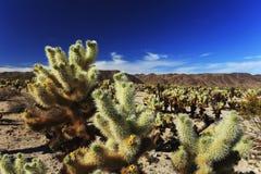 Jardin de cactus de Cholla chez Joshua Tree National Park, la Californie Photos stock