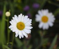 Jardin de camomille fleurs blanches de la marguerite russe de camomille Belle scène de nature avec les chamomilles médicaux de fl image stock