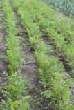 Jardin de carotte image stock