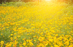 Jardin de chrysanthème Images libres de droits