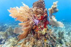 Jardin de corail dans les Cara?be image libre de droits