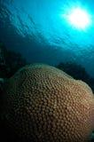 Jardin de corail de cerveau Image libre de droits