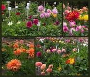 Jardin de dahlia Photos libres de droits