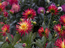 Jardin de dahlia Photo libre de droits