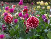 Jardin de dahlia Image libre de droits