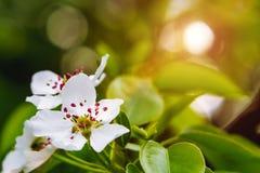 Jardin de fleur de poire au printemps étroit  photo libre de droits