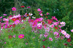 Jardin de fleurs de cosmos images libres de droits
