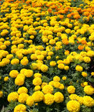 Jardin de fleurs de dahlia Images stock