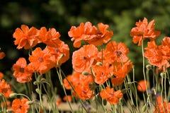 Jardin de fleurs de pavot Photographie stock libre de droits