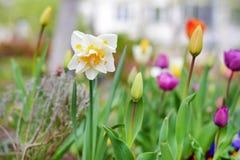 Jardin de fleurs et de tulipes de narcisse au printemps Images stock