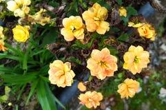 Jardin de fleurs jaune au Brésil images libres de droits