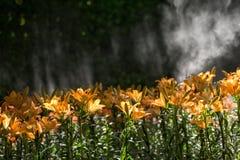 Jardin de fleurs orange de lis dans le lever de soleil de matin avec le wat de jet Photographie stock libre de droits