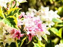 Jardin de fleurs roses et blanches Photographie stock libre de droits