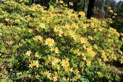 Jardin de floraison de rhododendron Images stock