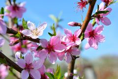Jardin de floraison de pêche de fleurs roses douces au printemps Blossomi Photo stock
