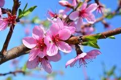 Jardin de floraison de pêche de fleurs roses douces au printemps Blossomi Photos stock