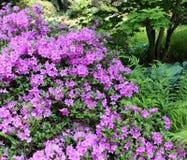 Jardin de floraison de rhododendron de plan rapproché au printemps Saison des rhododendrons fleurissants Fond de source Images libres de droits