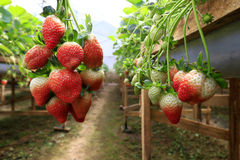 Jardin de fraise Photographie stock