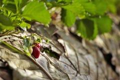 Jardin de fraise en Thaïlande Image stock