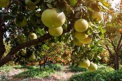 Jardin de fruit avec des pamplemousses et des mandarines Photographie stock libre de droits