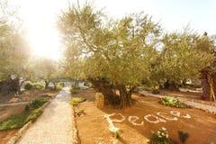 Jardin de Gethsemane, endroit historique célèbre Photo libre de droits