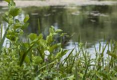 Jardin de Kew, les buissons par l'eau Images stock