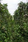 Jardin de lentilles en Thaïlande Photos stock