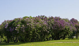 Jardin de Lilas Photo libre de droits