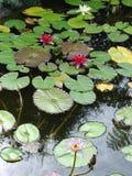 Jardin de lis d'eau Photographie stock libre de droits