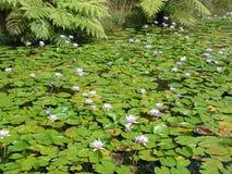 Jardin de lis d'eau Photographie stock