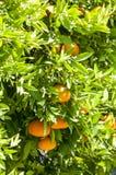 Jardin de mandarine photographie stock libre de droits