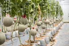 Jardin de melon Photo stock