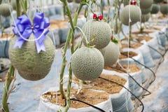 Jardin de melon Image stock
