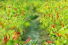 Jardin de piment Photo stock