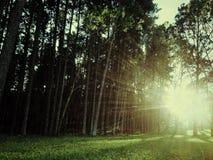 Jardin de pin Photographie stock libre de droits