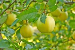 Jardin de pomme d'automne Photo libre de droits