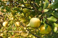 Jardin de pomme d'automne Photographie stock