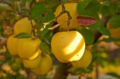 Jardin de pomme d'automne Images stock
