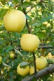 Jardin de pomme d'automne Photos libres de droits
