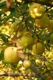 Jardin de pomme d'automne Image stock